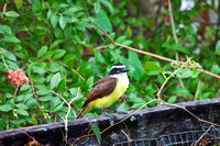 Kiskadee on a Fence- 3597